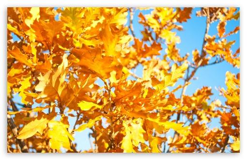 Download Yellow Oak Leaves UltraHD Wallpaper