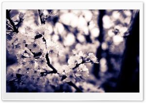 Cherry White Flowers