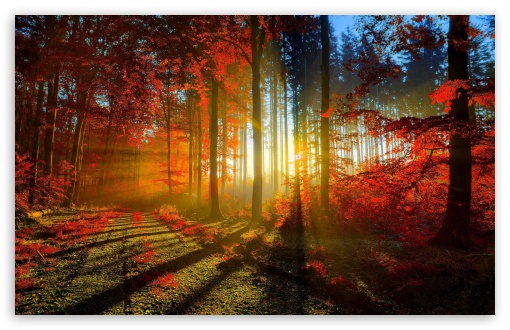 Download Red Forest UltraHD Wallpaper