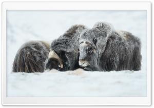 Musk Oxen Animals