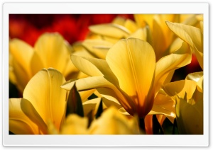 Beautiful Tulips. yellow and red