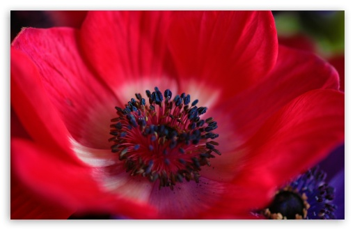 Download Red Flower Macro UltraHD Wallpaper