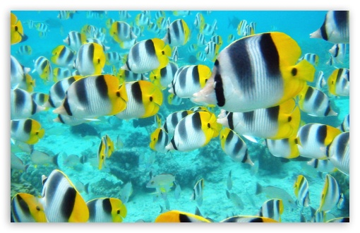 Download School Of Tropical Fish Tahiti UltraHD Wallpaper