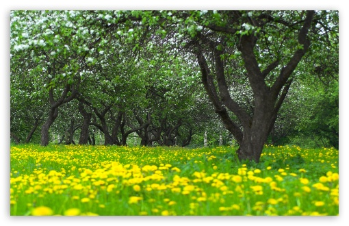 Download Orchard Spring UltraHD Wallpaper