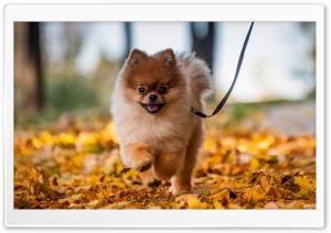 Cute Pomeranian Puppy...