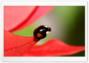 Black Beetles With Red Spots