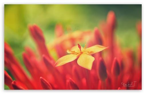 Download Red Flower UltraHD Wallpaper