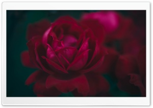 Rose Flower Macro