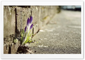 Crocus Flowers In The City