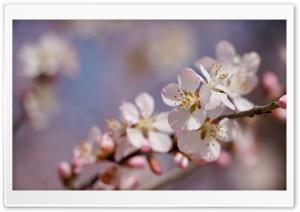 Peach Blossom 5K
