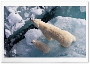 Osos Polar