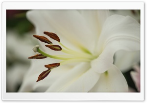White Lily Flower Macro