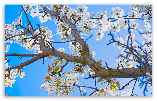 Download Spring Pear Tree UltraHD Wallpaper