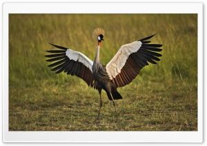 African Crowned Crane Masai...