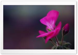 Geranium Flower Buds