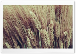 Closeup Of Golden Dry Wheat...