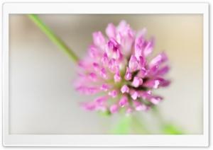 Clover Flower Macro