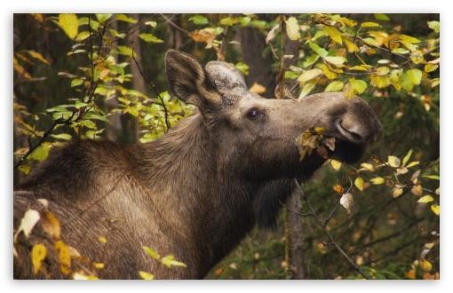 Download Moose In Fall UltraHD Wallpaper
