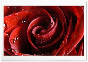 Beautiful Scarlet Rose