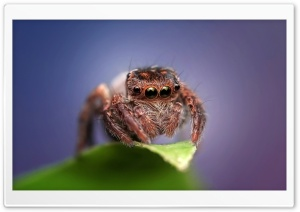 Cute Jumping Spider