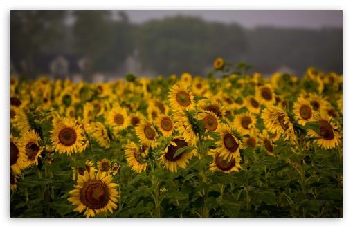Download Sunflower Field, Cloudy Summer Day UltraHD Wallpaper