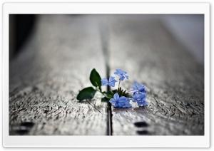 Small Blue Flowers Macro