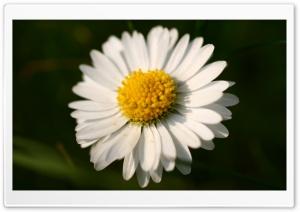 White Daisy Macro