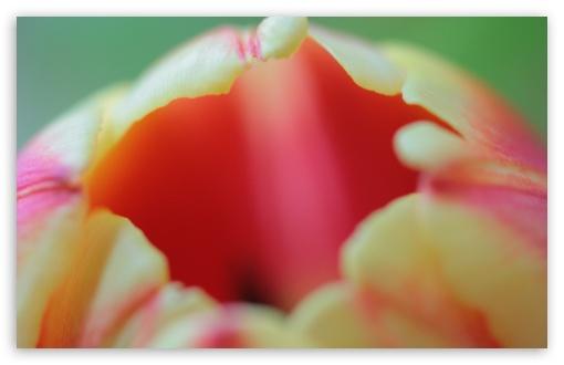 Download Tulip Flower Macro UltraHD Wallpaper