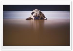 Saddest Pug Dog