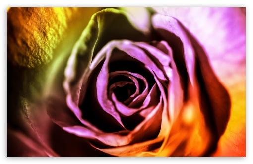 Download Valentine Rose UltraHD Wallpaper