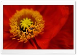 Beautiful Red Iceland Poppy...