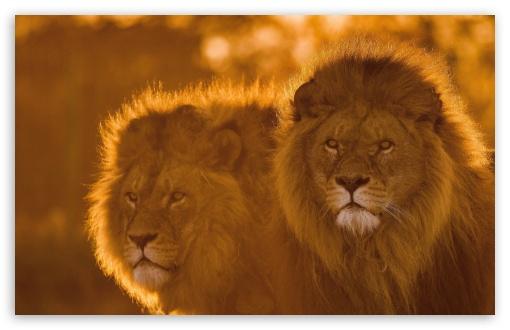 Download Lions, Animals, Wildlife UltraHD Wallpaper