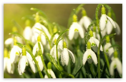 Download Snowdrops Spring UltraHD Wallpaper