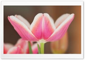 Spring Pink Tulip Blooming