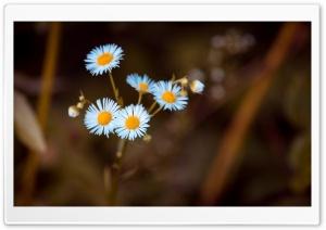 Annual Fleabane Daisy Flower