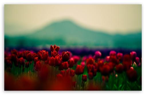 Download Red Tulips UltraHD Wallpaper