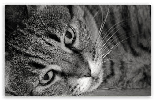 Download Tiger Cat Black And White UltraHD Wallpaper