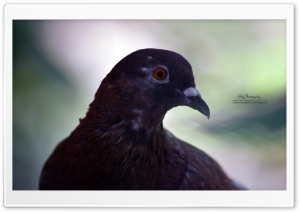 Pigeon Orange Eyes