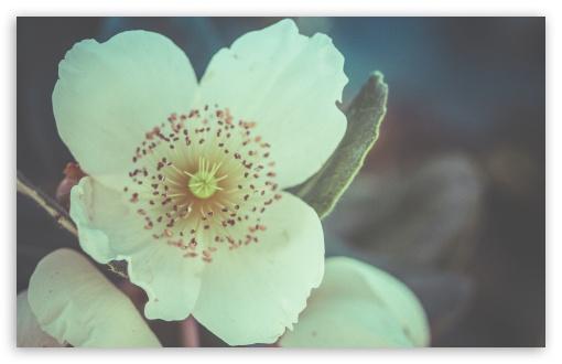 Download White Flower Macro UltraHD Wallpaper