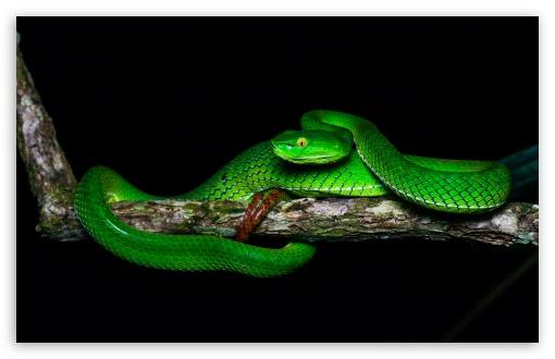 Download Beautiful Gumprecht's Green Pit Viper,... UltraHD Wallpaper