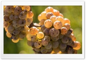 Ripe White Grape