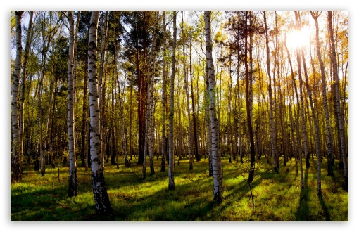 Download Leafless Birch Forest UltraHD Wallpaper