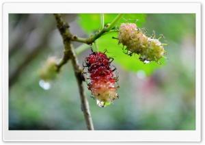 Kamblimass Berries
