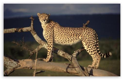Download Female Cheetah On The Lookout Masai Mara Kenya UltraHD Wallpaper