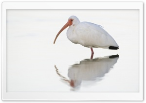 White Ibis At Dawn Fort...