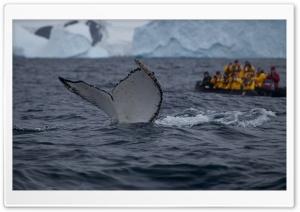 Humpback Whale Tail Slaps