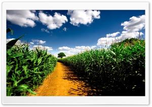 Country Road Between Corn Fields