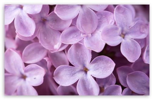 Download Lilac UltraHD Wallpaper