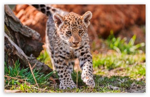 Download Jaguar Cub, Karlova Ves, Bratislava,... UltraHD Wallpaper