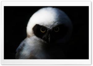Baby Owl, Night